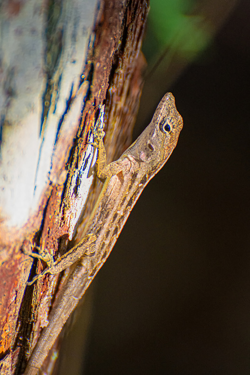 The brown anole is a member of the spiny lizard family and native to Cuba and the Bahamas. Common, and invasive to the United States, it is spreading north from the Florida Keys, and in a little more more than a century it has established itself as far north as Georgia and as far west as Texas in recent years. The problem with this particular species is that it is outcompeting with the native and less aggressive green anole, with the additional pressure of adult male brown anoles having been known to prey on young green anoles. This one was one of many spotted scurrying around hunting among the trees one November evening in the Corkscrew Swamp near Naples, Florida and the nighttime insects started to come out.