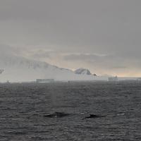 Fin Whales swim near the Antarctica Circle, Antarctica.