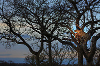 Leopard, Panthera pardus, with an impala kill, Aepyceros melampus, high in a tree at dusk.