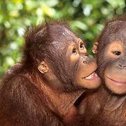 Orangutan, (Pongo pygmaeus) Portrait of juvenile pair. Northern Borneo. Malaysia.  Controlled Conditons.
