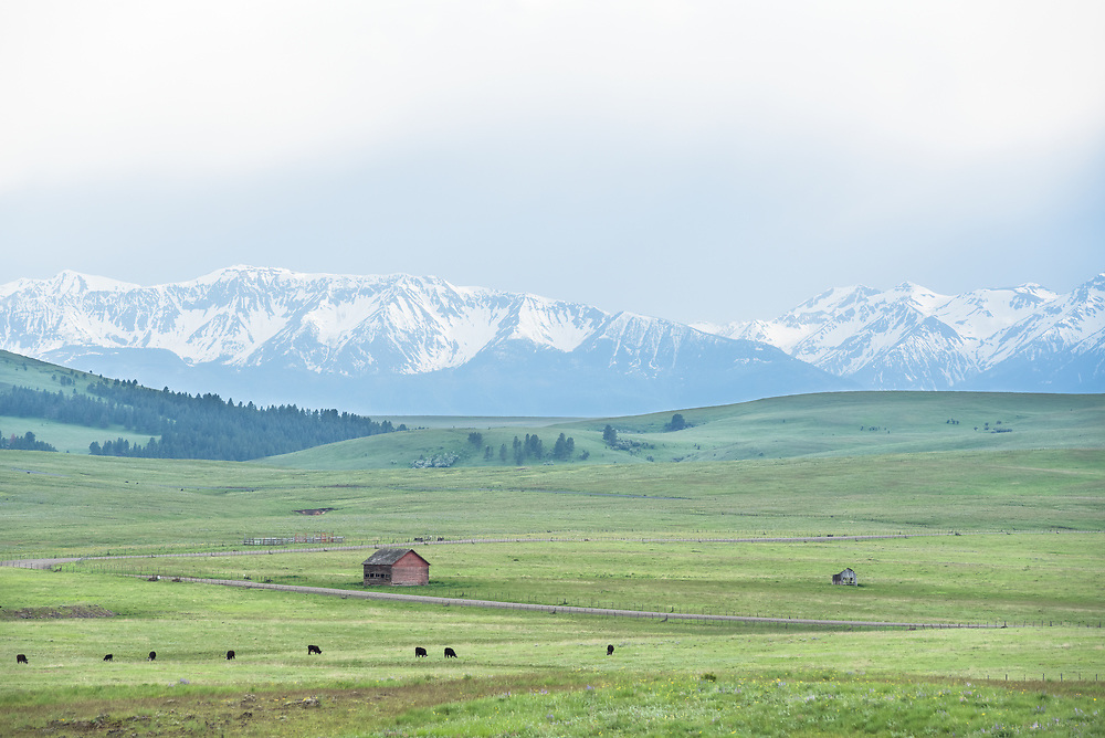 Cows grazing on a ranch on Oregon's Zumwalt Prairie.
