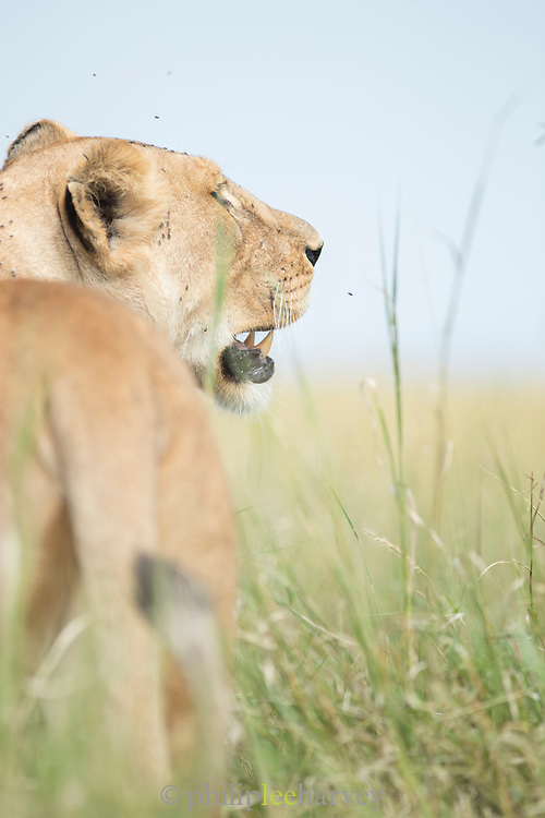 Nature photograph of a lioness (Panthera leo) among grass and flies flying around her, Serengeti National Park, Tanzania