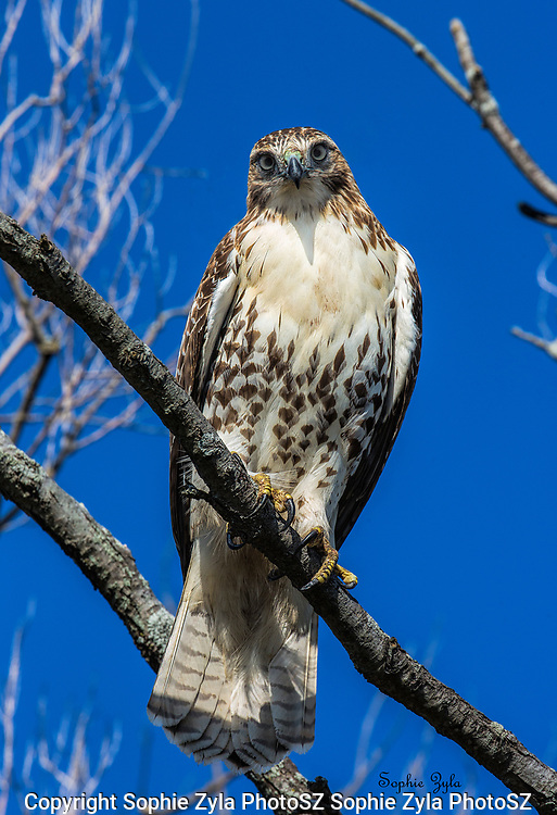 Red-tailed Hawk taking an interest in who I may be.