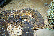 Crotalus is a genus of venomous pit vipers in the family Viperidae, known as rattlesnakes or rattlers. The genus is found only in the Americas from southern Canada to northern Argentina, and member species are colloquially known as rattlesnakes.