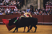 """Matador pass. Bull in the arena with banderillas on flanks..Bullfighting in Sevilla's famous bullring """"La Real Maestranza"""" is a significant part of the Feria de Abril..The Feria de abril de Sevilla, """"Seville April Fair"""" dates back to 1847. During the 1920s, the feria reached its peak and became the spectacle that it is today. It is held in the Andalusian capital of Seville in Spain. The fair generally begins two weeks after the Semana Santa, Easter Holy Week. The fair officially begins at midnight on Monday, and runs six days, ending on the following Sunday. Each day the fiesta begins with the parade of carriages and riders, at midday, carrying Seville's citizens to the bullring, La Real Maestranza. Seville. Andalusia. Spain...Blood sport ending in the killing of a bull in front of thousands of spectators. An entertainment and tradition derived from the ancient gladiatorial spectacles of Roman times. This activity is loved and defended by 'affecionados' who see the artistry and traditions whilst it is detested by animal rights activists, environmentalist and ecologists for its cruelty to animals"""