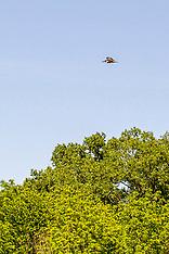 Coraciiformes (Kingfishers)