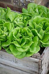 Lettuce 'Descartes' - Lactuca sativa - <br /> grown in a wooden box