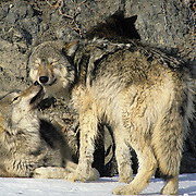 Gray Wolf (Canis lupus) portrait of a pair licking and nuzzling along the bank of a river in the Rocky Mountains of Montana. Captive Animal