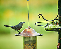 Gray Catbird. Image taken with a Nikon D850 camera and 200 mm f/2 VR lens