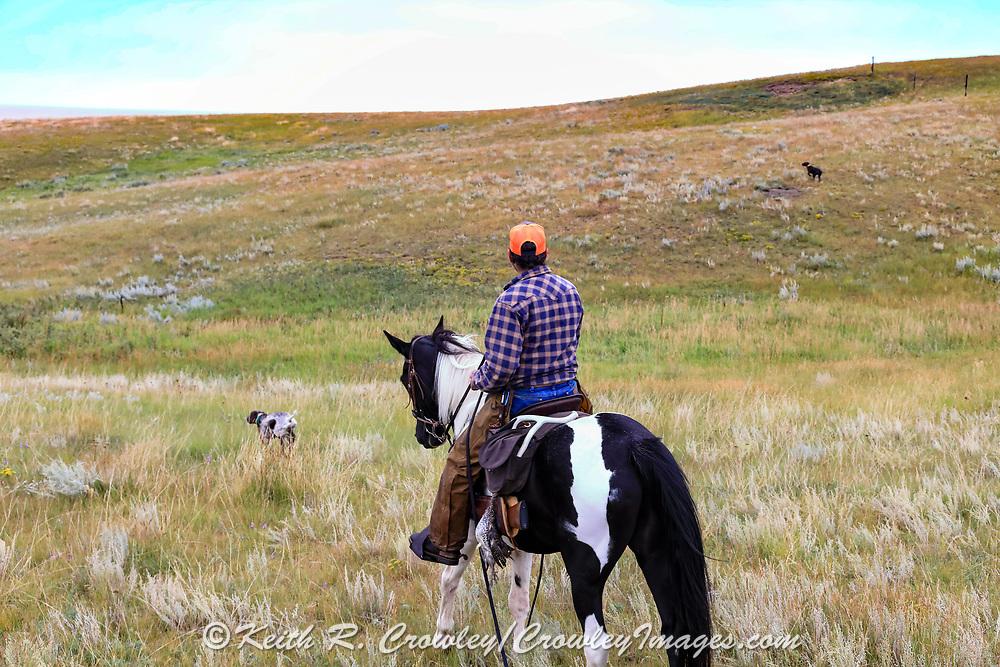 John Zeman, follows his German shorthairs Liza (left) and Louie, during a Montana horseback grouse hunt.
