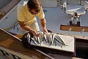 Crew prepping fresh Ballyhoo bait for trolling rigs.