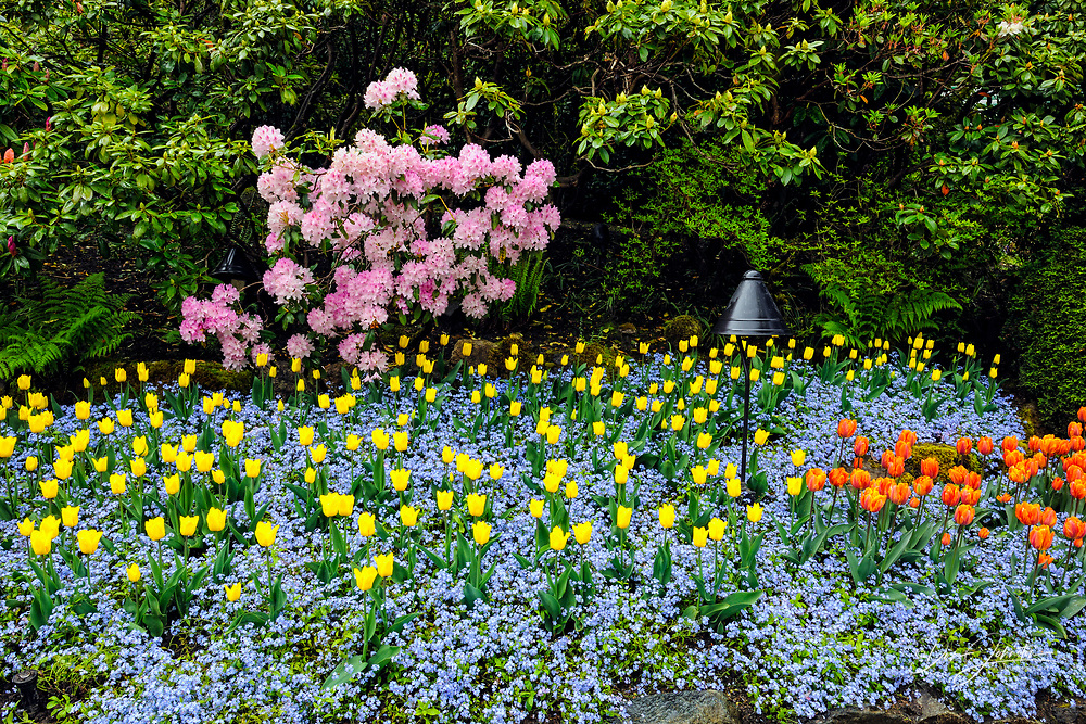 Butchart Gardens- Flower bed with tulips, rhododendrons and forget-me-nots, Victoria, BC, Canada