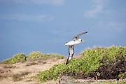A Laysan Albatross flying along Kaena point on Oahu.
