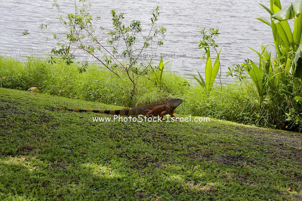 Green Iguana (Iguana Iguana), Photographed at Fort Lauderdale Florida, United States of America