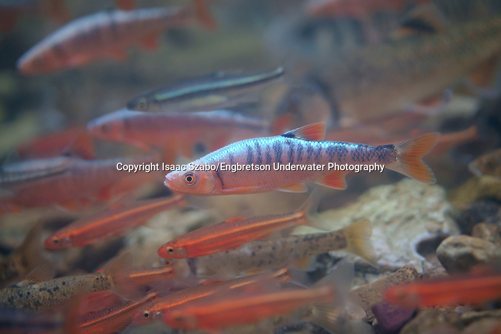 Scarlet Shiners<br /> <br /> Isaac Szabo/Engbretson Underwater Photography