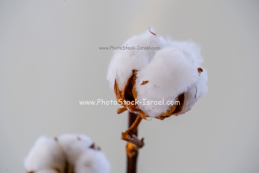 Cotton is a soft, fluffy staple fiber that grows in a boll, or protective capsule, around the seeds of cotton plants of the genus Gossypium. The fiber is almost pure cellulose. Under natural condition, the cotton balls will tend to increase the dispersion of the seeds. Dry and in a vase on white background