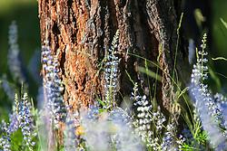 Ponderosa Pine, Lupine, wildflowers of Montana