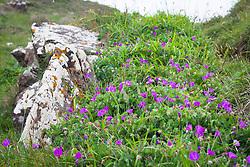 Bloody Cranesbill growing wild on cliffs  near Kynance Cove, Cornwall. Geranium sanguineum