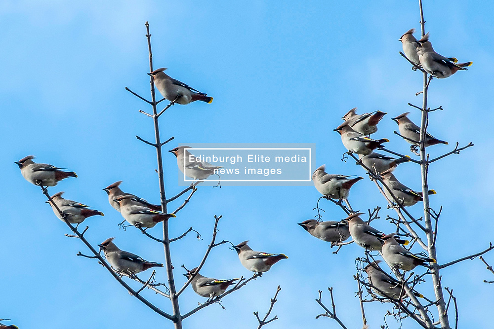 A flock of over a hundred waxwings made short work of the berries in a Portobello garden. © Jon Davey/ EEm