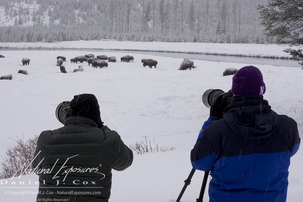 Our group photographing bison, Yellowstone National Park, Wyoming.