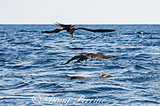 magnificent frigate bird snatches bait fish that was trying to shelter under an olive ridley sea turtle floating at the surface, offshore from southern Costa Rica, Central America ( Eastern Pacific Ocean ); pink-footed shearwater floats next to turtle