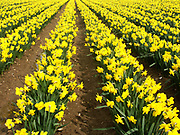 A4TR9F Cultivated field of daffodil flowers Bodham Norfolk England