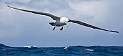 55x25cm print of a Salvin's Albatross gracefully gliding through the air currents above the ocean surface, several kilometres off the coast of Stewart Island, New Zealand.