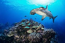 scalloped hammerhead shark, Sphyrna lewini, swimming over hard coral reef, Hawaii, USA, Pacific Ocean, digital composite