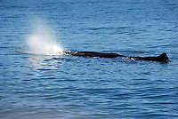 Sperm whale oxygenating, off Kaikoura, South Island, New Zealand. 201004105220..Copyright Image from Victor Patterson, 54 Dorchester Park, Belfast, UK, BT9 6RJ..Tel: +44 28 9066 1296.Mob: +44 7802 353836.Voicemail +44 20 8816 7153.Skype: victorpattersonbelfast.Email: victorpatterson@mac.com.Email: victorpatterson@ireland.com (back-up)..IMPORTANT: If you wish to use this image or any other of my images please go to www.victorpatterson.com and click on the Terms & Conditions. Then contact me by email or phone with the reference number(s) of the image(s) concerned.