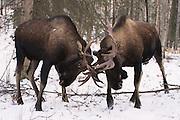 Two Alaska bull moose spar during the moose rut.