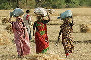 IND.MWdrv04.045.x..Mishri Yadav, 35, (in pink sari) her sister, Sona, who has come from the neighboring village of Bhagwarpur to help, and a friend walk to Mishri's home after harvesting wheat. They grow one planting of wheat and then rice during the rest of the year. Her family must pay half of the harvest to the owner of the land that they farm. Ahraura Village, Uttar Pradesh, India. Revisit with the family, 2004. The Yadavs were India's participants in Material World: A Global Family Portrait, 1994 (pages: 64-65), for which they took all of their possessions out of their house for a family-and-possessions-portrait. Work..