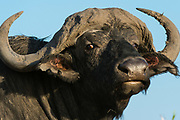 Close-up portrait of a Cape buffalo, Syncerus caffer, looking at the camera, Chobe National Park, Botswana.