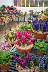 Hyacinth display at West Dean with Hyacinthus orientalis 'Jan Bos, H. 'Kronos' and 'Woodstock' in the foreground
