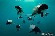 pod of Commerson's dolphins, Cephalorhynchus commersonii , native to the waters off southern South America