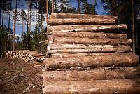 27.05.2017 Puszcza Bialowieska N/z klody scietego drewna przeznaczone do wywozki z lasu w nadlesnictwie Hajnowka fot Michal Kosc / AGENCJA WSCHOD