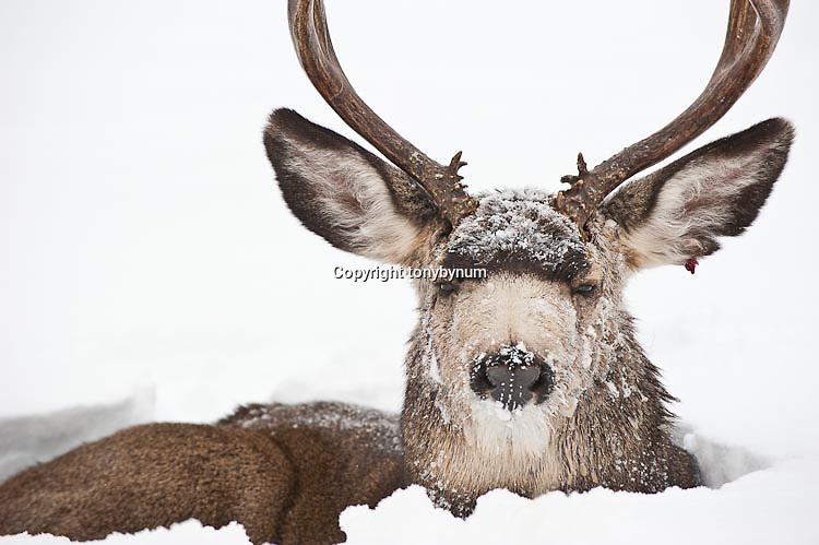 lonely single muledeer buck freezing cold winter snow