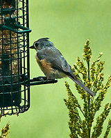 Tufted Titmouse. Image taken with a Nikon 1 V3 camera and 70-300 mm VR lens.