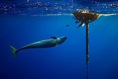 False Killer Whales Hunting