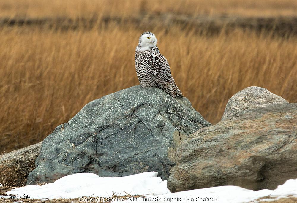 Snowy Owl Side Glance