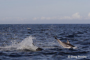long-beaked common dolphins, Delphinus capensis (formerly lumped with common dolphin, Delphinus delphis ); jump sequence, #3 of 3, off San Diego, California, U.S.A. ( eastern Pacific Ocean )