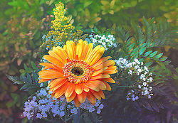 An orange Gerber Daisy pops in the garden from the early morning sunlight.<br />