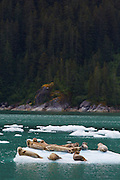 Harbor seals on icebergs in Le Conte Bay, Tongass National Forest, Alaska.