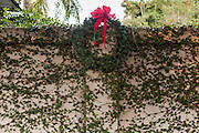 Christmas on a fig vine covered wall in historic Savannah, GA.