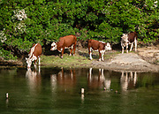 Cattle drinking at Pasarela Rio Arrayanes, Lago Verde, Los Alerces National Park, in Chubut Province, Patagonian region, Argentina, South America. (Spanish: Parque Nacional Los Alerces.)