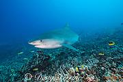 large female tiger shark, Galeocerdo cuvier, swims over coral reef, Honokohau, Kona, Big Island, Hawaii, USA ( Central Pacific Ocean )