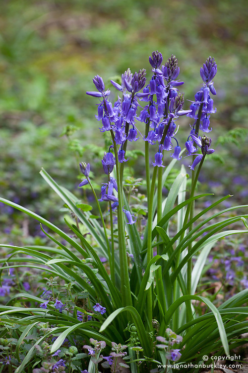 Bluebell. Native - Spanish cross (hybrid). Hyacinthoides hispanica