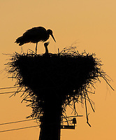 White stork (Ciconia ciconia) and chick silhouetted at nest. Labanoras Regional Park, Lithuania. Mission: Lithuania, May 2009
