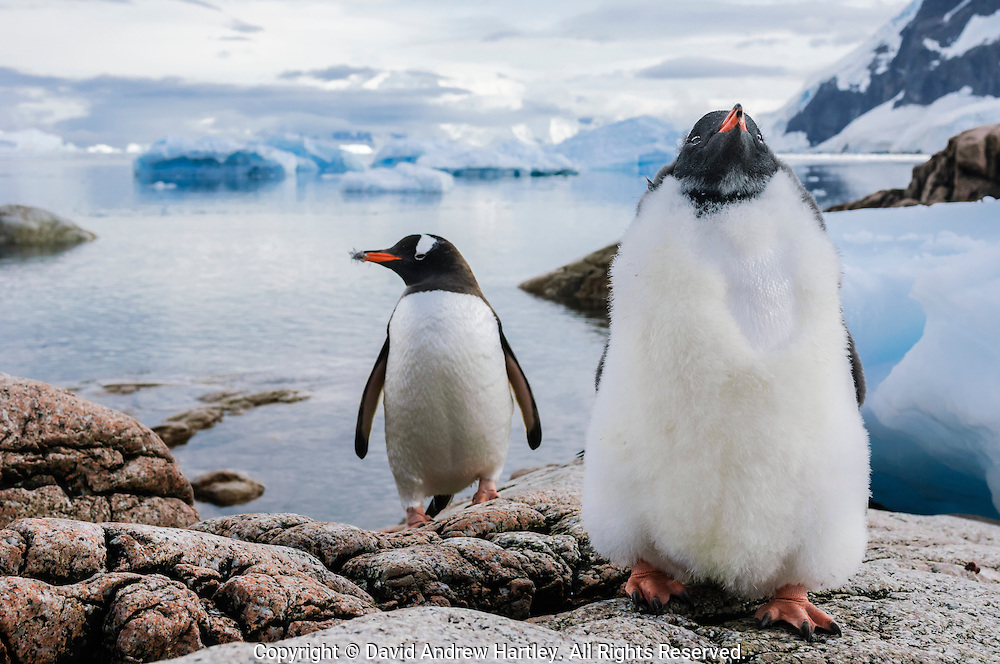 A juvenile and adult Gentoo Penguin (Pygoscelis papua), Neko Harbor, Antarctic Peninsula