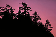 Silhouette of Douglas-firs on the Inverness Ridge, Point Reyes National Seashore, California