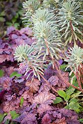 Euphorbia characias 'Silver Swan' with  Heuchera 'Berry Smoothie'